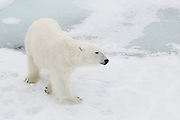 Close-up of a male polar bear (Ursus maritimus) walking on pack ice in the Arctic Ocean, Svalbard, Norway