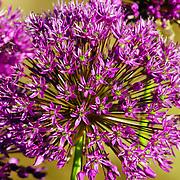 A close up shot of purple allium flowers. Photo by Adel B. Korkor.