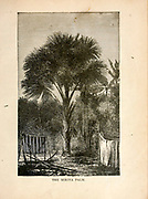 The Mirita Palm [Miriti Palm Mauritia flexuosa] from The merchant vessel : a sailor boy's voyages to see the world [around the world] by Nordhoff, Charles, 1830-1901 engraved by C. LaPlante; some illustrations by W.L. Wyllie Publisher New York : Dodd, Mead & Co. 1884