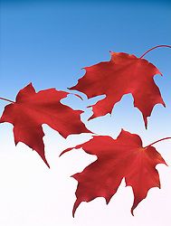 Bright red Autumn Leaves on blue background