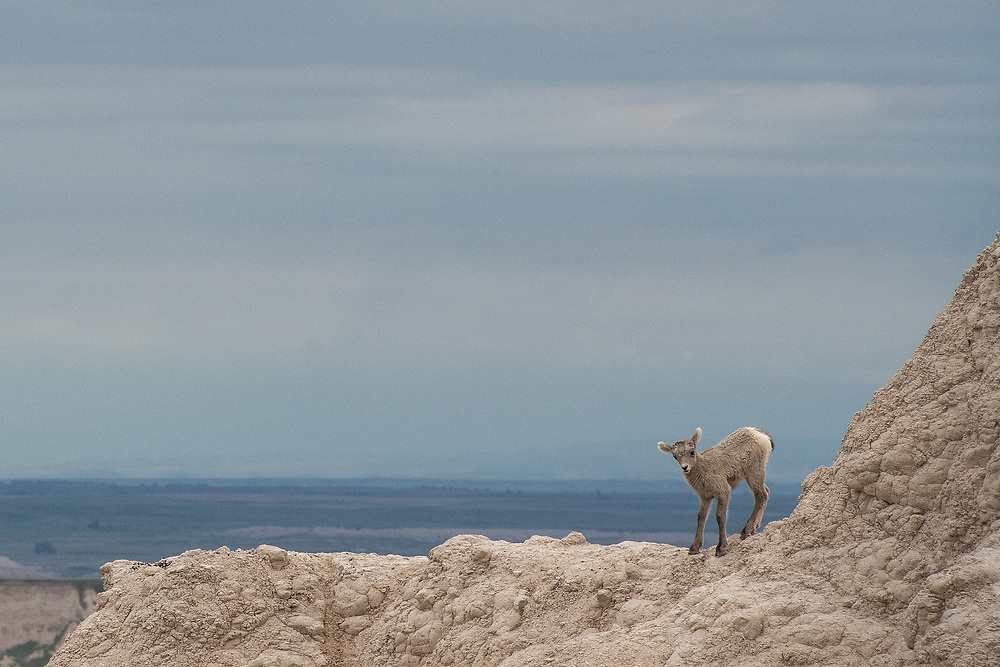 A Bighorn sheep lamb stands on a ridgeline in Badlands National Park