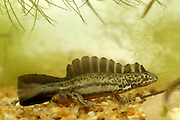 Male Southern Banded Newt (Ommatotriton vittatus)