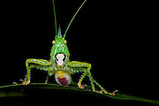 Green Spiny Katydid Female (Copiphorus gracilis)<br /> Yasuni National Park, Amazon Rainforest<br /> ECUADOR. South America