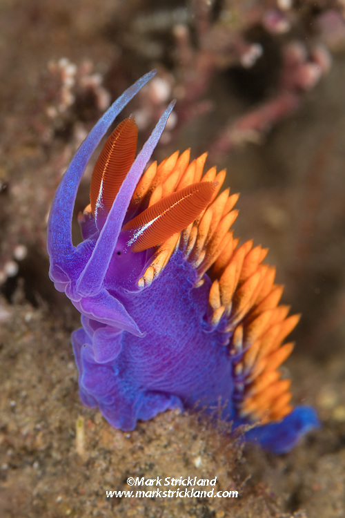 This striking nudibranch is commonly known as a Spanish Shawl, Flabellina iodinea.  Santa Cruz Island, Channel Islands, California, Pacific Ocean