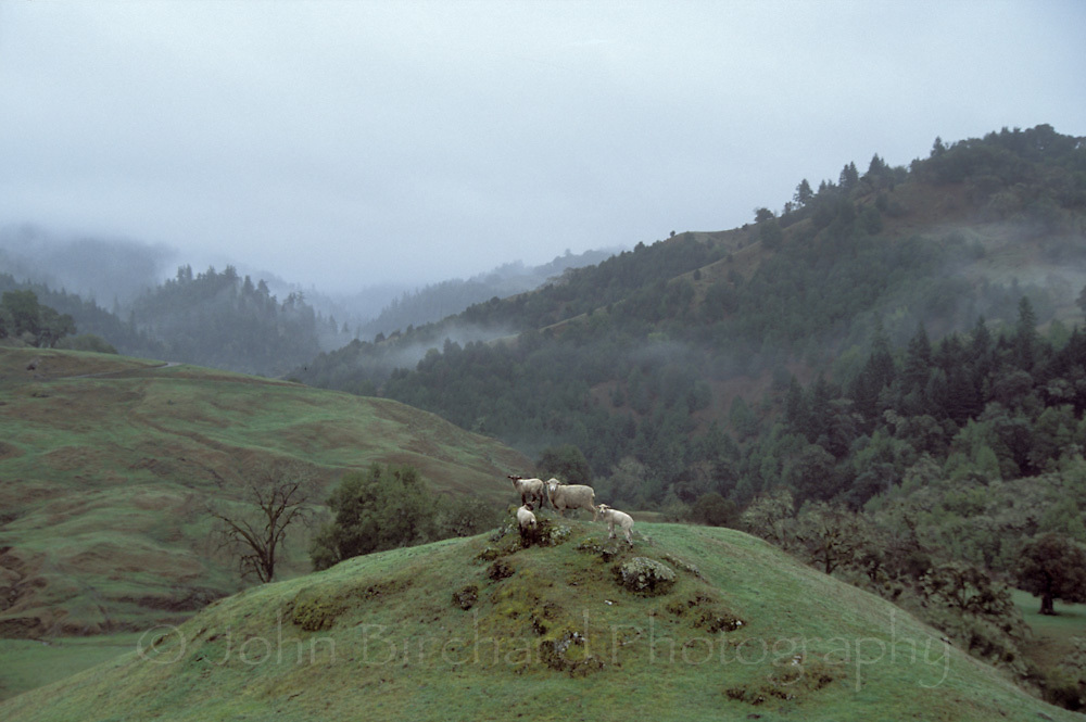 Sheep on a hill in Anderson Valley, California