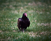 Turkey Vulture. Image taken with a Nikon D5 camera and 600 mm f/4 VR lens (ISO 1600, 600 mm, f/4, 1/640 sec).