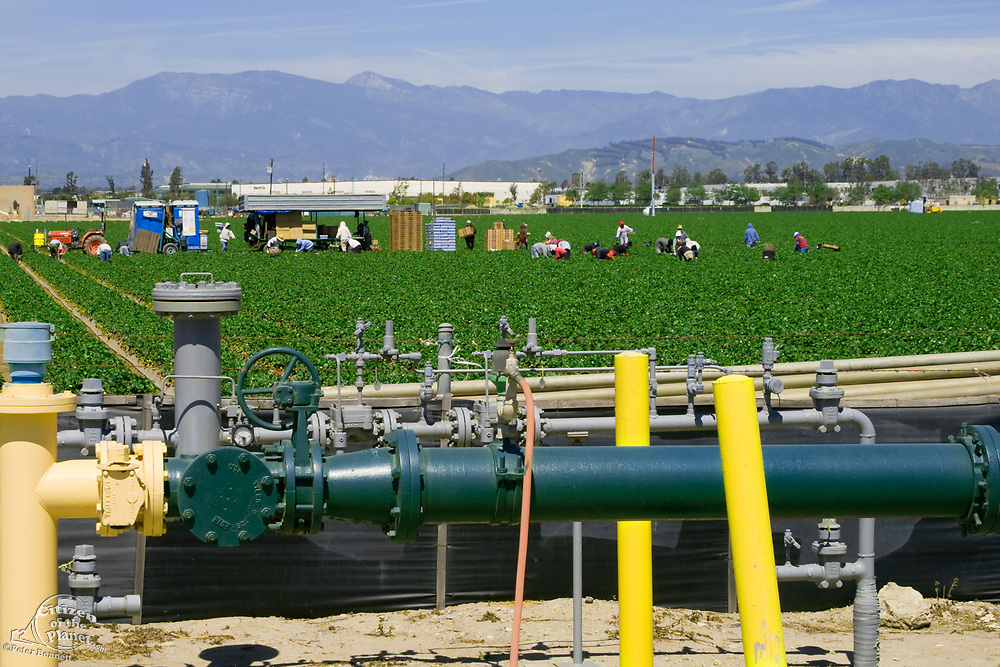 Strawberry fields being harvested. Irrigation pipes in the foreground. Oxnard, Ventura County, California, USA