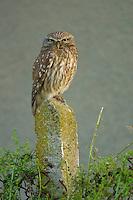 Little Owl, Athene noctua, Steinkauz, near Nikopol, Bulgaria