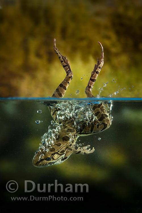 A rio grande leopard frog (Rana berlandieri) splashes into water, Texas. Temporarily captive.
