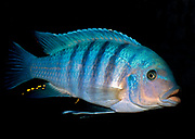 Malawi cicklid from the Mbuna group (Metriaclima zebra) dominant male.