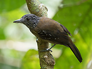 The Black-hooded Antshrike (Thamnophilus bridgesi) is a bird species endemic to Costa Rica and western Panama. Manuel Antonio National Park, Quepos, Costa Rica.