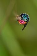 Ruby-tailed wasp, cuckoo wasp (Chrysis ignita) sleeping on a stalk. Bamberg, Bavaria, Germany | Gemeine Goldwespe (Chrysis ignita) schlafend an einem Halm. Bamberg, Bayern, Deutschland