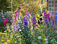 Old Westbury, New York, U.S. - June 21, 2014 - A visitor walks around the colorful Cottage Garden at dusk to see Lori Belilove & The Isadora Duncan Dance Company perform during the Midsummer Night event at the Long Island Gold Coast estate of Old Westbury Gardens on the first day of summer, the summer solstice.