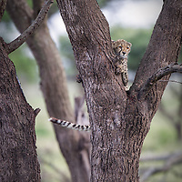 A young cheetah cub, Acinonyx jubatus,  is curious and climbs a tree for a better view.  Tanzania.