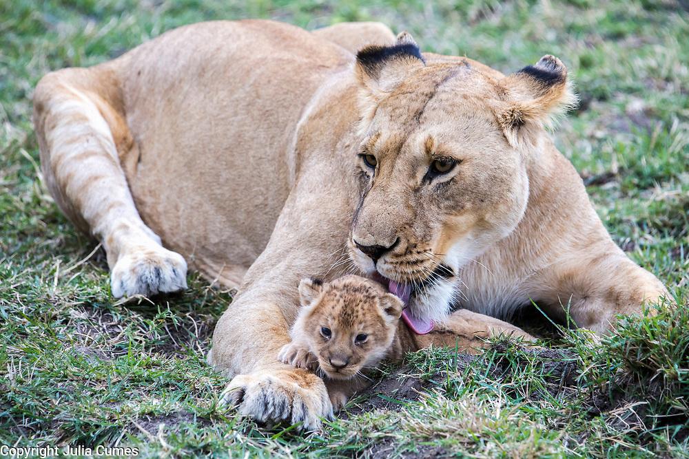 A lioness licks her cub in Kenya's Masai Mara National Park.