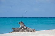 Hawaiian monk seal, Neomonachus schauinslandi, Critically Endangered Species, Sand Island, Midway, Atoll, Midway Atoll National Wildlife Refuge, Papahanaumokuakea Marine National Monument, Northwest Hawaiian Islands,  ( Central North Pacific Ocean )