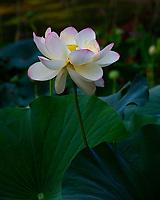 Lotus Blossom Irmo, South Carolina  photo by catherine brown