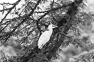 Cattle egret-Héron garde boeufs<br /> (Bubulcus ibis), Hluhluwe-Umfolozi parc, Kwazulu-Natal, South Africa.
