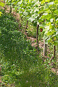 The vineyard in the garden behind the house. Grass, herbs and weed grow between the rows of vine before it has been cut. On one of the vines there is a capsule of hormones (feromones) to fight the insects with confusion sexuelle (sexual confusion), Champagne Jacquesson in Dizy, Vallee de la Marne, Champagne, Marne, Ardennes, France
