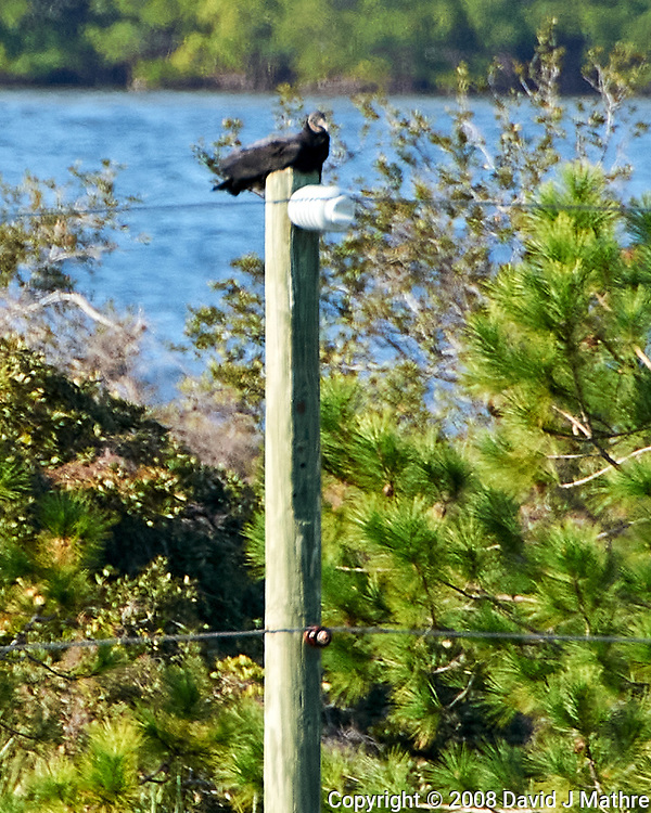 Black Vulture (Coragyps atratus). Weedon Island Preserve. Pinellas County, Florida. Image taken with a Nikon D700 camera and 200-400 mm f/4 VR lens.