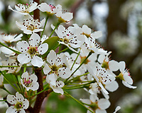 Pear (?) Tree Flowers. Image taken with a Fuji X-H1 camera and 60 mm f/2.4 macro lens (ISO 200, 60 mm, f/11, 1/20sec).