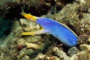 Ribbon Eel - male.(Rhinomuraena quaesita).Lembeh Straits, Indonesia