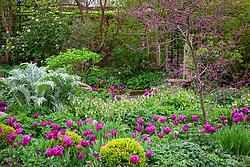 Spring border with Cercis siliquastrum - Judas tree, Viburnum, Tulipa 'Passionale' and Cardoon