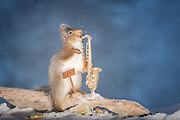 "EXCLUSIVE<br /> Photographer Pictures Squirrels With Tiny Musical Instruments Through Kitchen Window<br /> <br /> Some years ago, squirrels started to come to photographer Geert Weggen's  garden, He decided to build an outside studio from a balcony and started to shoot photos his kitchen window, Some days upto 6 squirrels visit Geert daily.<br /> <br /> This year Geert worked on an idea for a children's book, ""Squirrel Teaching You The Alphabet"", and was confronted with some letters like an object starting with an ""X"". That became a squirrel photo with a xylophone. From there Geert started doing a series of squirrel photos with music instruments. ""It took months to get some music instruments with the right size. I try to bring some magic, wonder and happiness with my work"", these are real photos. Sometimes I take away a wire or some food.<br /> <br /> Photo Shows: SOLO...red squirrels in snow with saxophone <br /> ©Geert Weggen/Exclusivepix Media"