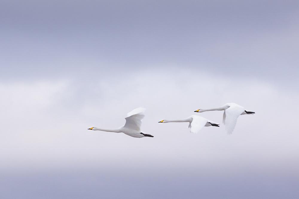Whooper swans (Cygnus cygnus) in flight, Svēte floodplains, Latvia Ⓒ Davis Ulands | davisulands.com