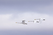 Whooper swans (Cygnus cygnus) in flight, Svēte floodplains, Latvia Ⓒ Davis Ulands | davisulands.com