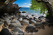 Hawaiian green sea turtles, Chelonia mydas ( Threatened Species ), pack into a sea cave to rest during low tide, Hawaii, USA ( Central Pacific Ocean )