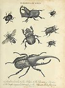 Scarabaeus [dung beetle] and Scolia [scoliid wasps] Copperplate engraving From the Encyclopaedia Londinensis or, Universal dictionary of arts, sciences, and literature; Volume XXII;  Edited by Wilkes, John. Published in London in 1827