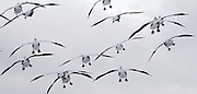 Snow geese look for a place to land in the farmlands of Skagit Valley off Fir Island Road.    The Fraser River delta is an important wintering spot and heavily used by the birds that will migrate to Wrangel Island to breed. (Alan Berner / The Seattle Times)