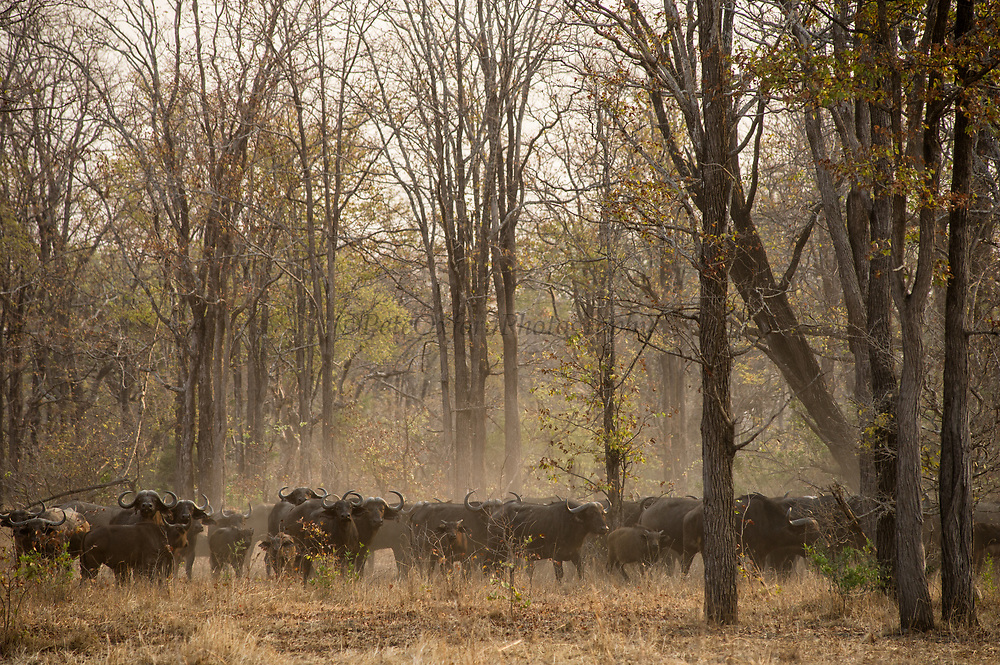 African buffalo (Syncerus caffer)<br /> Liwonde National Park, MALAWI, Africa<br /> To be tested by an international veterinary team testing buffalo for foot-and-mouth disease in a trans-border veterinary effort. Tests include a 'Probang' throat scrape and blood test. Chopper used as a darting platform.