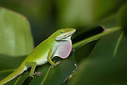A green gecko exhibits defensive behavior