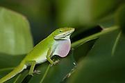 A green gecko exhibits defensive behavior