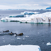 A pod of killer whales swim in the ice-filled waters of Cape Green in Antarctica.