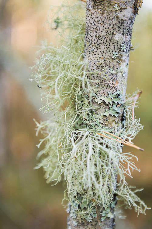 Lichen community on tree branch, Zemgale, Latvia Ⓒ Davis Ulands | davisulands.com