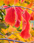 The red leaves against the yellow and green background really jumped out at me as I walked by.  I had to see if I could capture the wonder of these leaves in the still morning air.