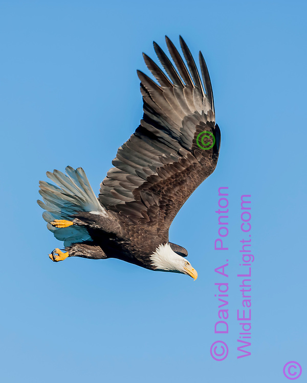 Bald eagle using wings to build speed in diving flight, clear blue sky, © David A. Ponton