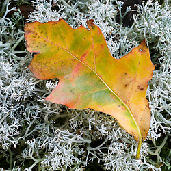 An oak leaf on reindeer lichen on Hubbard Hill in New Hampshire's Pisgah State Park.  Chesterfield, New Hampshire.