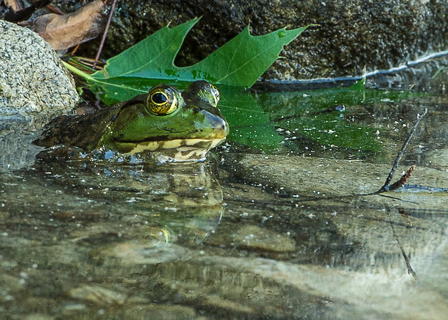 Green Bullfrog in shallow waters of Lake Ossipee, New Hampshire