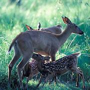 Whitetail deer, (Odocoileus virginianus) newborn twing fawns nursing from doe near stream.