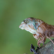 I get a lot of questions about these shots.  I was at a seminar on photographing insects at the Princeton Nursery, Princeton, NJ.  Just by luck, we came upon this cicada emerging from its old shell.
