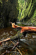Lower Oneonta Falls, visible in the distance past a series of tree logs fallen into the canyon, drops a hundred feet into Oneonta Gorge, a tight mossy slit cut into the bedrock, in Oregon's waterfall-ridden Columbia Gorge.