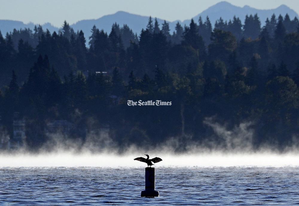 A cormorant opens its wings toward the foggy early morning sun on Lake Washington. (Ken Lambert / The Seattle Times)
