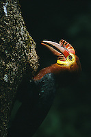 Close view of a critically endangered Walden's hornbill.