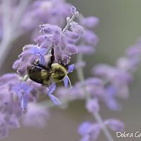 Bumble Bee on Russian Sage Bush.