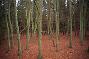 Deciduous and coniferous trees in with deep leaf litter, Rendlesham forest, Suffolk, England, UK