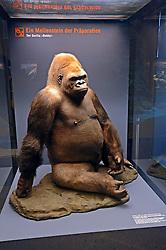 15.03.2016, Museum fuer Naturkunde, Berlin, GER, Naturkundemuseum Berlin, im Bild Praeparat des Gorilla Bobby (Gorilla) // Exhibits in the Natural History Museum Museum fuer Naturkunde in Berlin, Germany on 2016/03/15. EXPA Pictures © 2016, PhotoCredit: EXPA/ Eibner-Pressefoto/ Schulz<br /> <br /> *****ATTENTION - OUT of GER*****